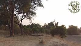 Territorial Dispute Between Lion Prides in Zambia