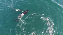Killer Whales Observed Playing With Seabird in Monterey Bay