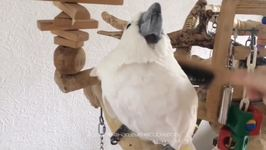 Harley the Cockatoo Has Feathers Brushed by Loving Owner