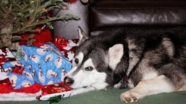 Malamute Can't Wait to Open His Christmas Gifts