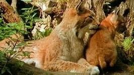 S01 E04 - Lynx: Predator Nursery - Planet Wild
