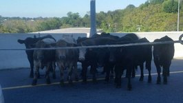 Overturned Truck Lets Cattle Loose on Nashville Highway