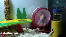 Hamster Breaks Her Wheel