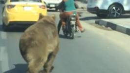 Lost Bear Wanders in Basra Streets