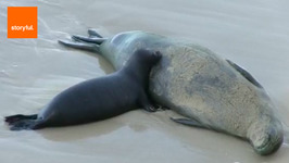 Lost Seal Pup Reunited with Mother