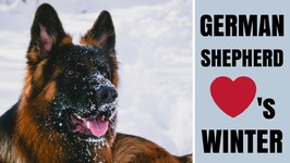 Dog Playing In The Snow - Our German Shepherd Togo Loves Winter