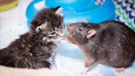 Brooklyn Cat Cafe Employs Rats To Care For Kittens