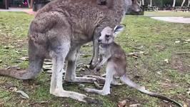 Baby Kangaroo Takes Her First Hops