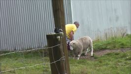 Man Faces Stand Off With Aggressive Sheep
