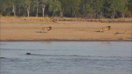 Battle of Roars Between Lion Prides in Zambia