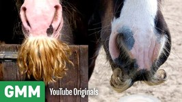 Can Horses Grow Mustaches - Yes or Snopes