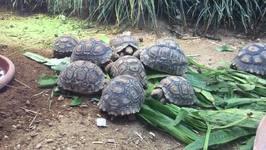 Tiny Leopard Tortoises Enjoy a Leafy Snack