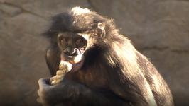 S02 E01 - Bonobos, Grey Seals, Cheetah & Lemur - Baby Planet