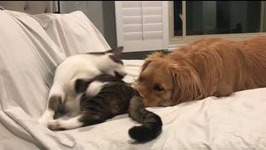 Bedtime Snuggles Turns Into Play Fight For Cat and Dog