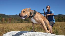 RIP Ace - Super Pitbull Killed In Horror Attack - Dog Dynasty