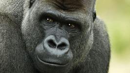 Gorilla Attacks At Zoo