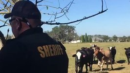Florida Sheriff's Officer Wrangles Cows Twice During 'Tweet Along'