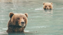 Bears Catching Salmon - ALASKA