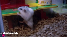 Hamster Can Do Pull-Ups
