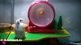 Hamster Slips And Falls