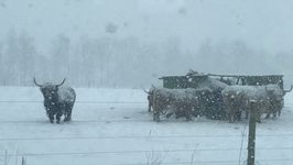 Herd of Cattle Unfazed by Cold, Snowy Michigan Weather