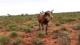 Indee Station Cattle Muster - Ep 33 Motorcycle Journey