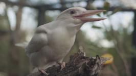 Symbio Wildlife Park's Albino Kookaburra Jester Enjoys a Good 'Laugh'
