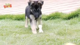 Dogs Vs Bones - Funny Puppy Fight