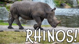 Rhinos - Rhinoceros Facts for Kids