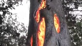 Sonoma Wildfire Burns in Hollowed Out Tree