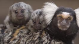 Symbio Wildlife Park Welcomes Super Cute New Marmoset Twins