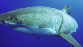 How To Be A Great White Shark