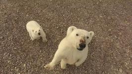 Curious Polar Bears Investigate A Drone