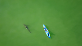 Marine Biologists Film Great White Sharks Circling Kayaks