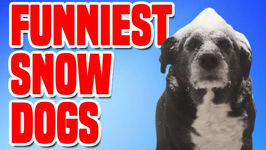 Funniest Snow Dogs - Funny Dog Compilation