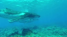 Divers Encounter Humpback Whales on Shallow Reef in Tuamotus, French Polynesia