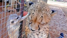 Cheetah Purrs With Happiness of Meerkat Friendship
