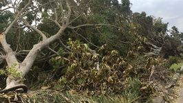 Row of Trees Uprooted on Miami Street