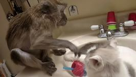 Pet Monkey Enjoys Grooming Cat