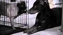 Doberman Frees His Playmate- PetTube