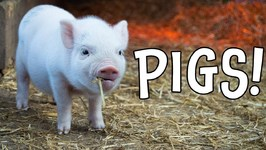 Pigs - Pig Facts and Learning About Pigs for Kids