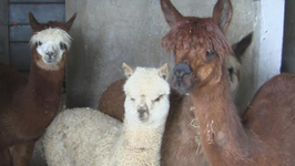 From the Andes to Italy: Farmer Opens Alpaca Farm