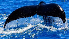 Tallship Whale Watching, Gold Coast, Queensland