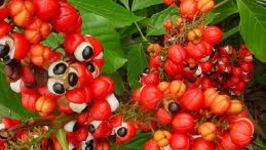 How To Prepare Guarana Seeds For Use