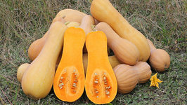 Seasons- Butternut Squash