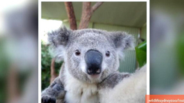 Adorable Koala Selfies are the Cutest Things You'll See Today