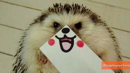 Adorable Hedgehog is Latest Twitter Superstar