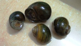 Japanese Trapdoor Snails