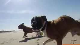 Two-Legged Boxer Pup Takes First Trip to the Beach
