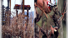 Vineyard Pruning Technology at Jordan Vineyard and Winery: Double-Pruning Grapevines